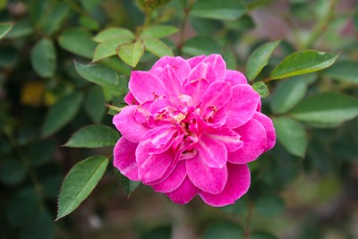 One of the many beautiful roses located at the Rose Garden of the LSU AgCenter Botanic Garden in Baton Rouge.