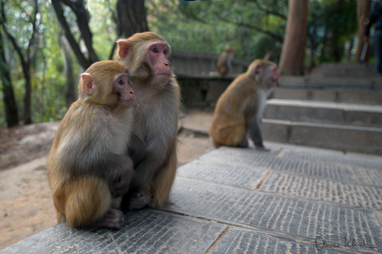 YellowStone Mountains - Resident Monkeys