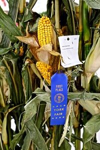 1st Place, Grain and Seed Crops, Field Corn any Variety