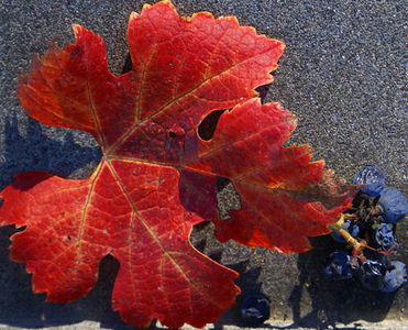11/29/08  Leaf and Grapes Rubicon Winery