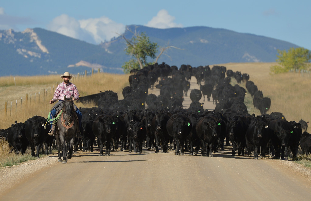 Justin Sheely | The Sheridan Press<br /> Joel Kern leads cattle from the Cato Ranch to a nearby grazing pasture Wednesday on Soldier Creek Road west of Sheridan.