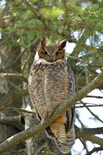 owl watching over nest