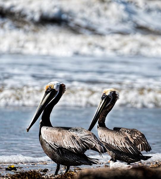Brown Pelicans on Texas Gulf coast
