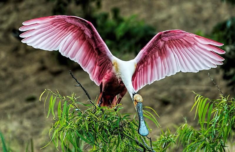 Roseate Spoonbill balancing act