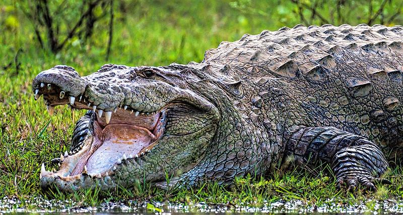 Mugger Crocodile on the bank of the Kabini River