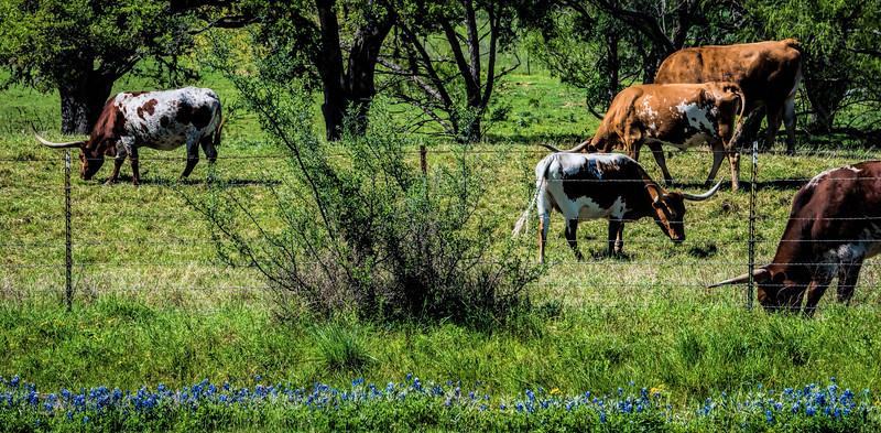 Longhorns and Bluebonnets