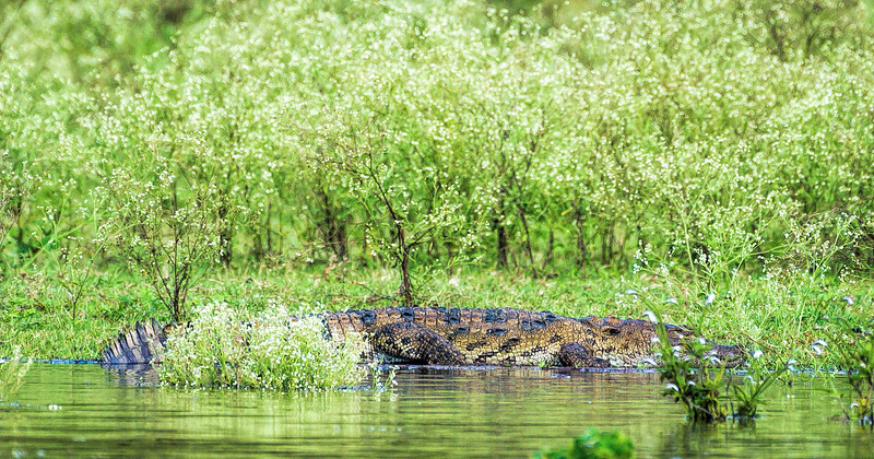 Juvenile crocodile on the move in the Kabini River