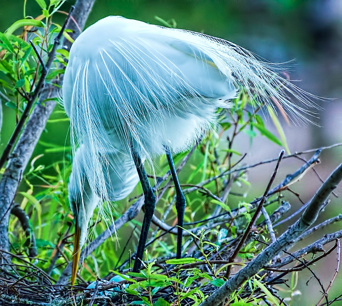 Great Egret diligently watching her eggs