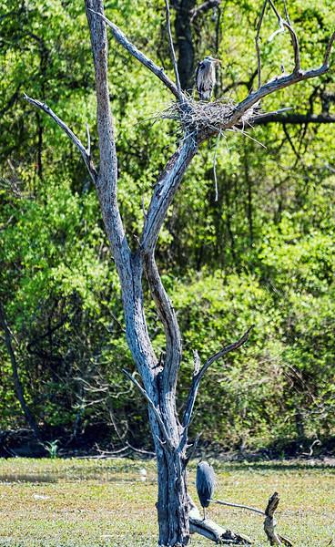 Great blue herons nesting