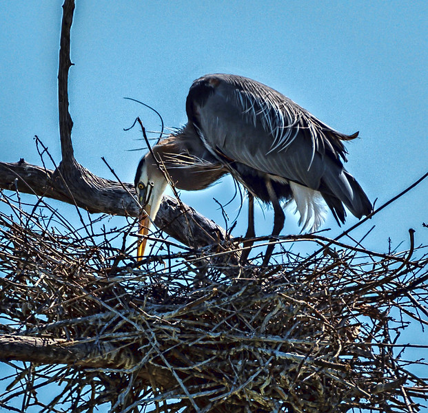 Great blue heron feeding her chick