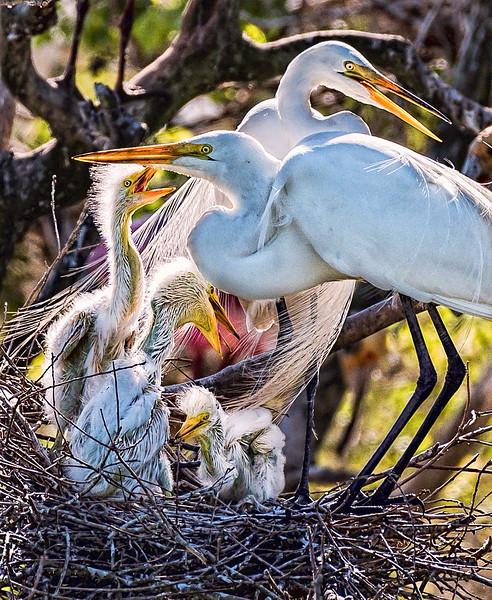 Great Egret family portrait