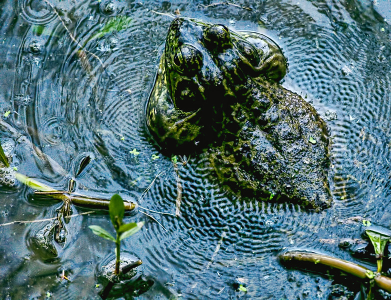 Bullfrog in mid-ribit