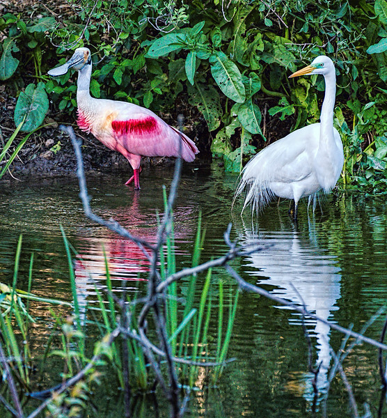 Roseate Spoonbill and Great Egret