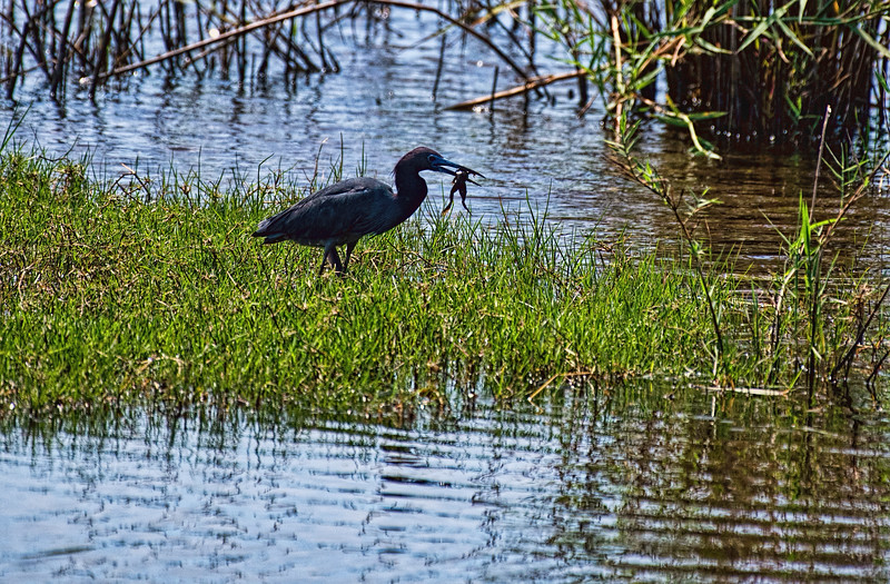 Little Blue Heron with lunch