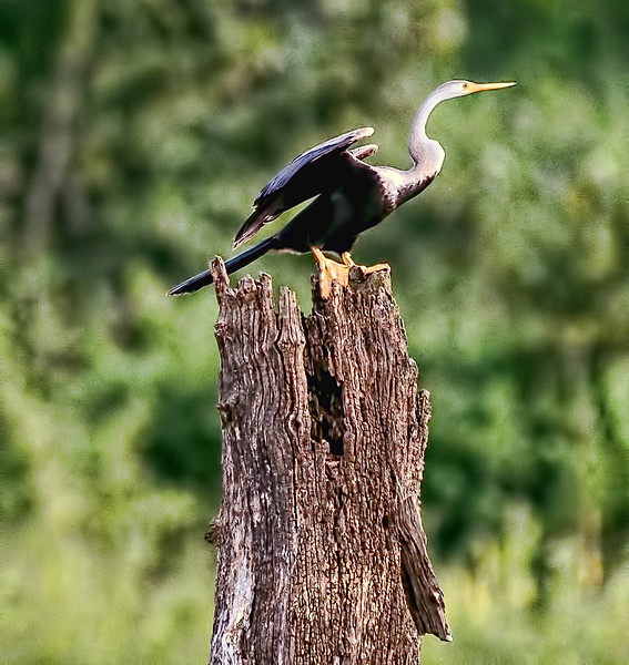 Anhinga (Snake-bird)