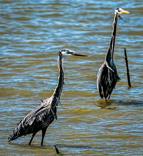 Great Blue Herons (fishing buddies)