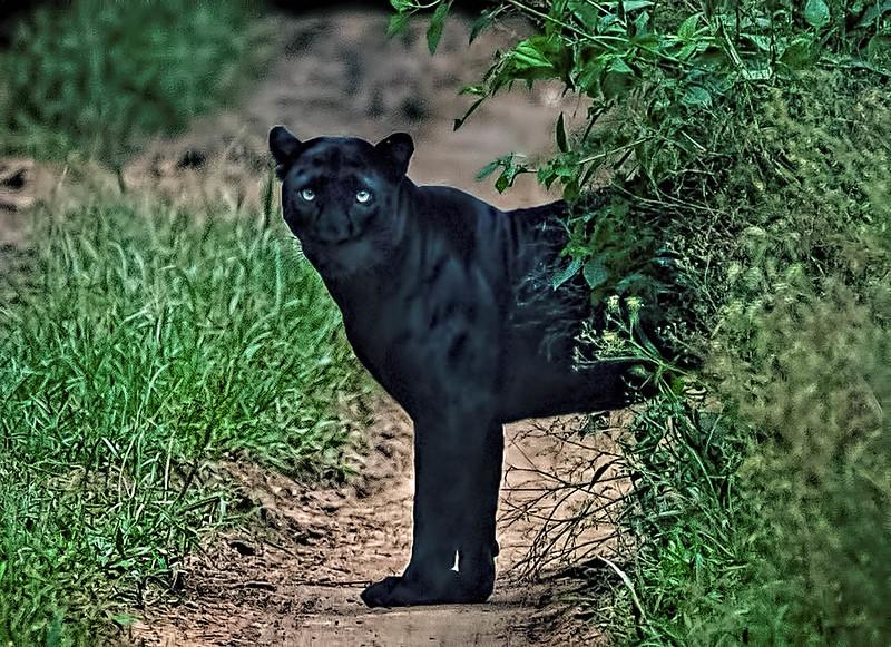 """Blackie"" - Black Leopard"