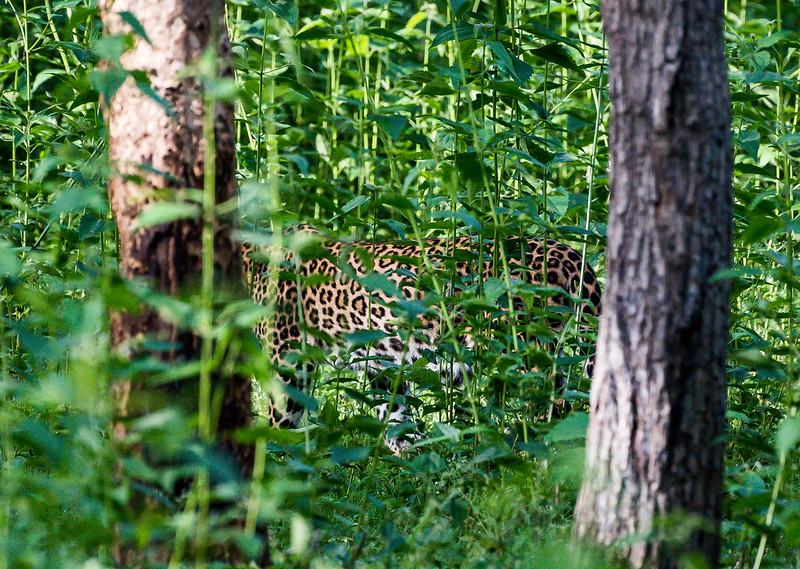 Leopard sliterhing through the forest