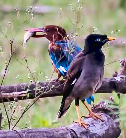 Kingfisher with his catch, while a Minah bird looks on with envy