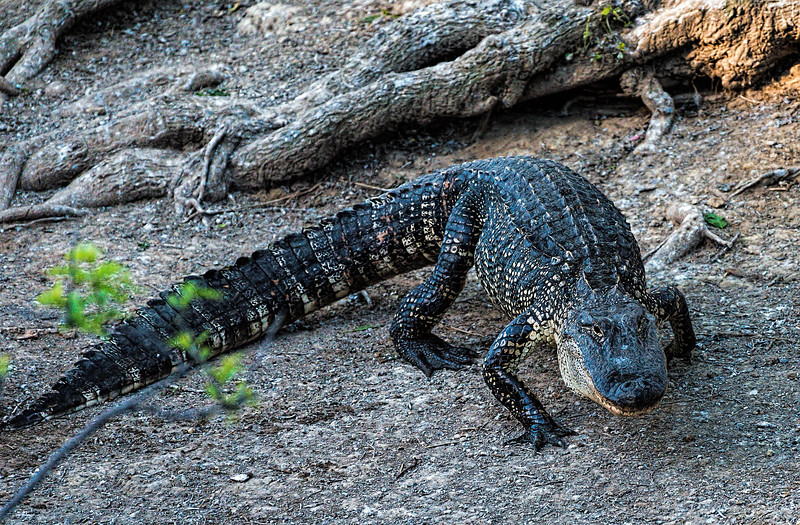 American Alligator on the prowl