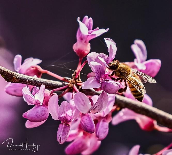 Bee on redbud bloom