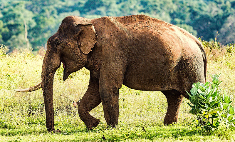 Bull elephant with only one tusk
