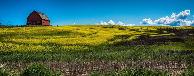 The classic red barn in the canola field