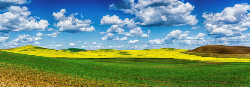Palouse landscape highlighted by blooming canola field