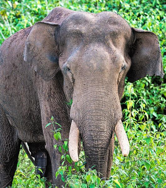 Indian Bull Elephant