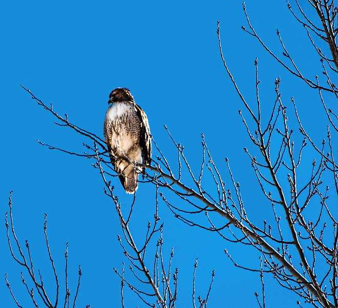 Any day I see a redtail hawk is going to be a good day