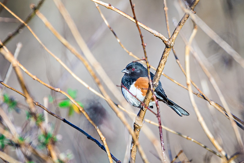 eastern towhee bird perched on a branch