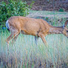 montana red deer doe grazing in field