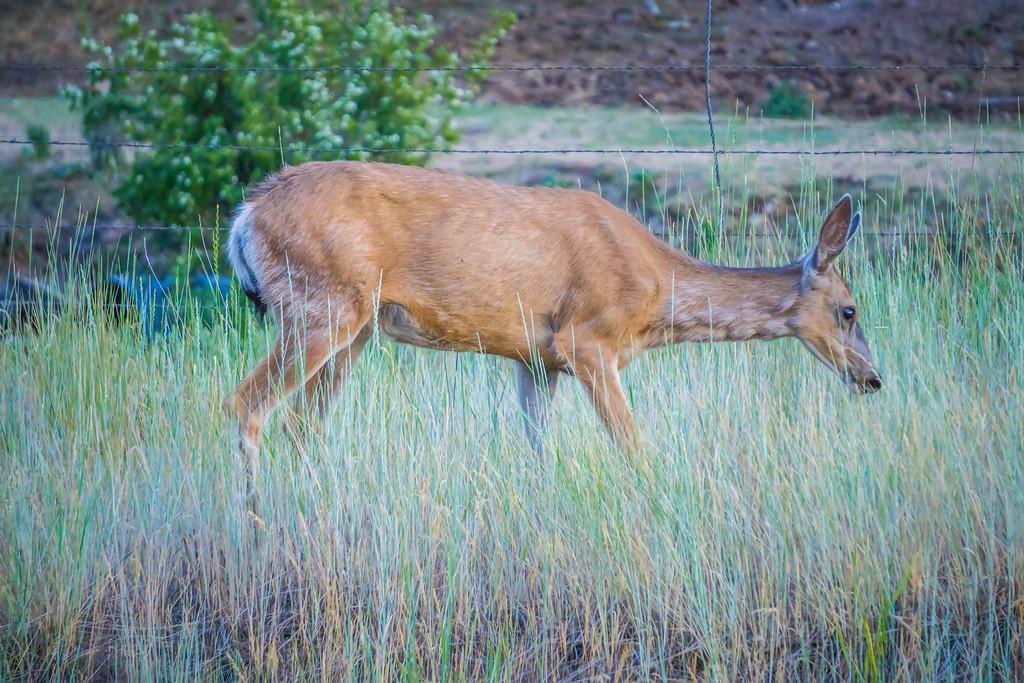 montana red deer doe grazing in field