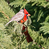 red cardinal pirched up on branch of evegreen tree