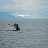humpack whale hunting in favorite channel alaska
