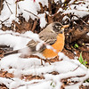 american robin perched on blooming peach tree in spring snow