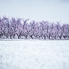 peach tree farm in winter snow