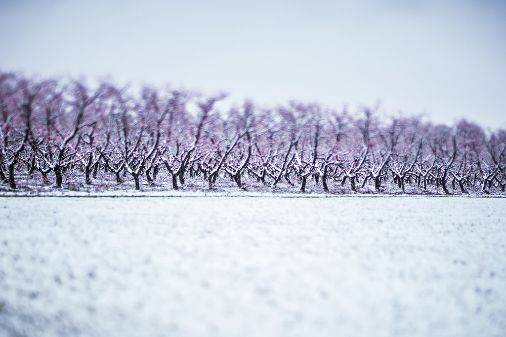 peach tree farm in winter snow