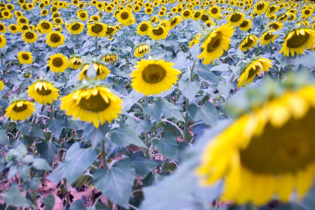sunflower farm field landscape in south carolina