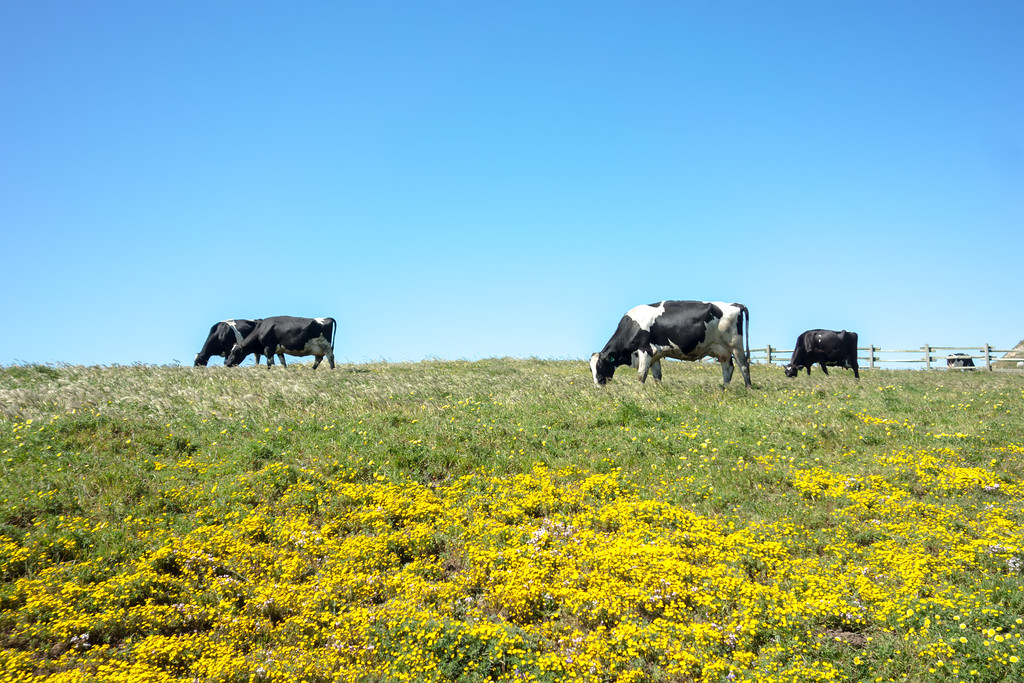 Sunny morning lighting pasture with farm cows