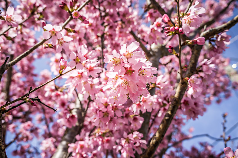 spring bloom tree with pink flowers