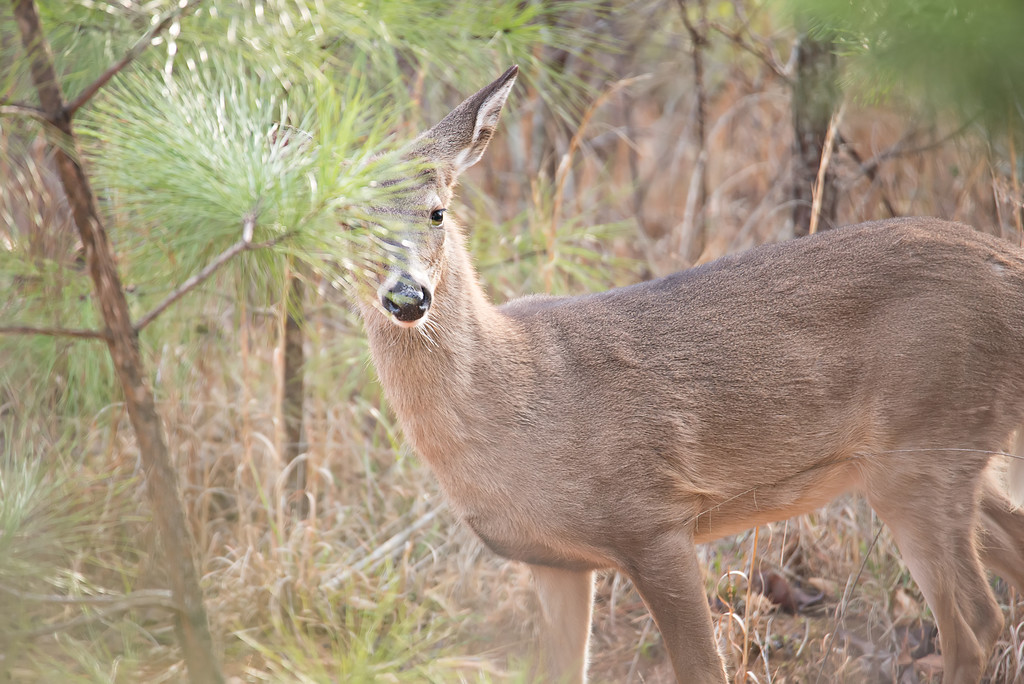 deer doe looking around depp thick forest