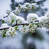 nature blossom in spring snow