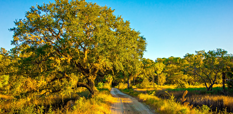 Country Road Lined with Oak trees