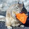 california squirrel eating a dorrito chip on california coast