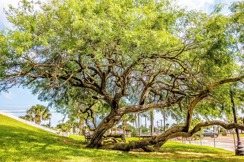 old crooked tree in small country town