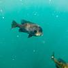 crappie fish swimming around blue waters