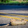 road kill armadillo on the road