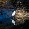 white egret hunting for fish with alligator infested waters