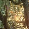 spanish moss illuminated by sunset light on oak trees